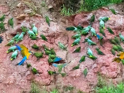 3d / 2n Tambopata National Reserve: Collpa de Guacamayos