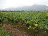 VIÑEDOS ALVANOR en Castillo de Chancay + Huando + Ruta del Vino Full Day