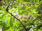 Mono Frayle en Autentica Reserva Nacional Pacaya Samiria