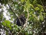 Mono guapo negro en Autentica Reserva Nacional Pacaya Samiria