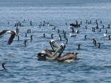 pelicans and cormorants