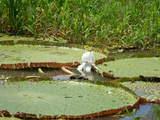 Foto de Iquitos: Bosque Tropical Amazonas Perú