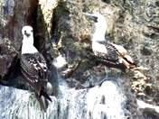 observación de aves en Lima Perú