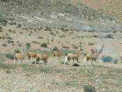 Wild guanacos