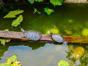 Charapa turtles