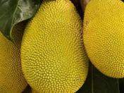 Jack Fruit the largest fruit in the world